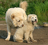 Собака бурят монгольский волкодав